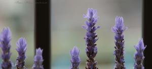 Lavender020sz800