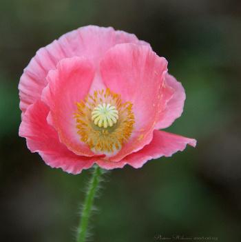 Poppy010sz700