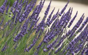 Lavender022sz900