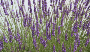 Lavender023sz900_2