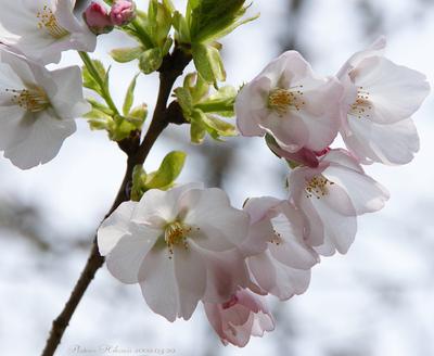Sakura029sz700