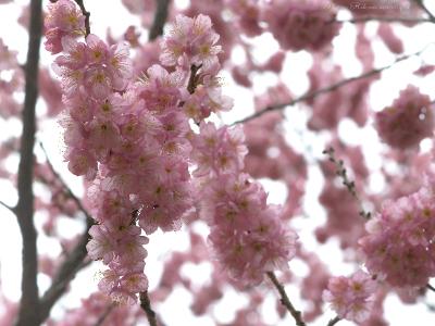 Sakura060sz800