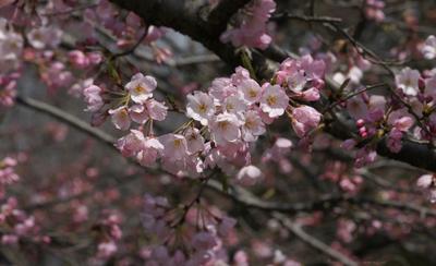 Sakura062sz1200