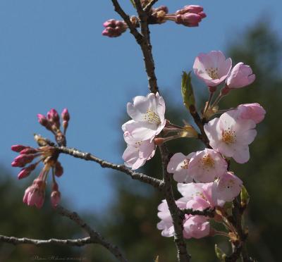 Sakura063sz800