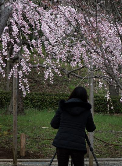 Sakura064sz600