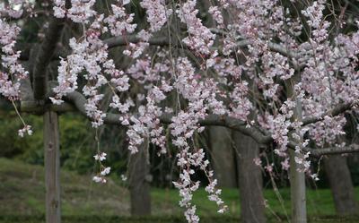 Sakura065sz1200