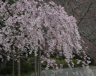 Sakura066sz900