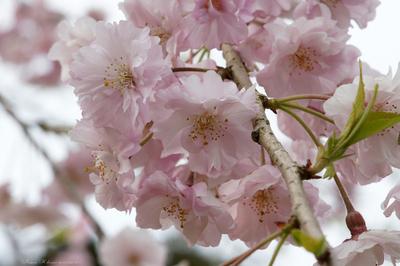 Sakura067sz1200