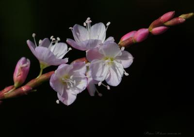 Sakuratade012sz900