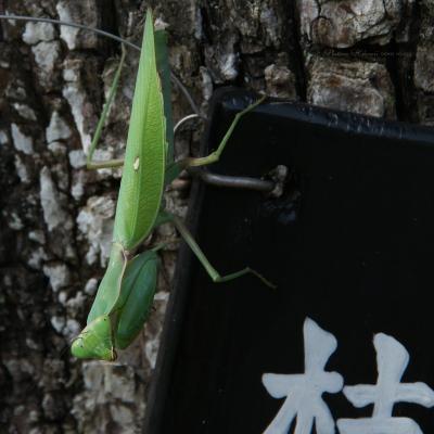Kamakiri015sz800_2