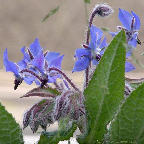 Borage001sz600