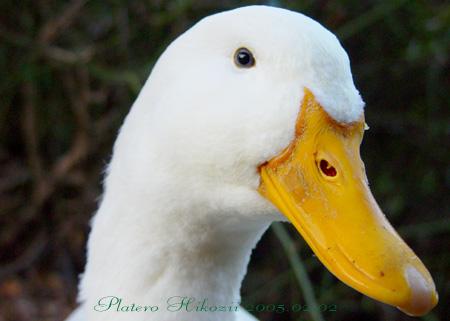 duck001sz450