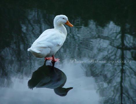 duck003sz470