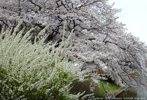Sakurayukiyanagi001sz470_4